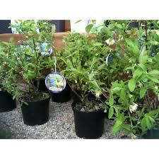 mirtillo in vaso mirtillo siberiano lonicera kamtschatica vendita piante