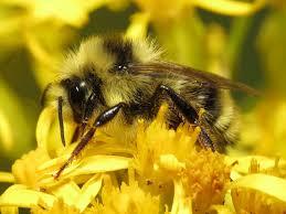 the queen bumblebee