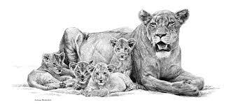 lioness and cubs pencils u2013 johan hoekstra wildlife art johan