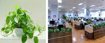 Indoor Plant For Office Desk Top 7 Plants That Absorb Radiation From Computer U0026 Mobile Plant