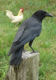 a crow yahoo image search results tattoo pinterest crows