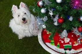 westie dos in santa and tree background stock