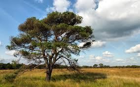 amazing pine tree pasture sky wallpapers amazing pine tree