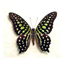 graphium agamemnon framed butterflies and insects