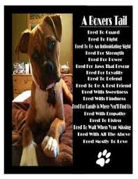 boxer dog uncontrollable head shaking ricky and lucy the boxers from your friends at phoenix dog in home