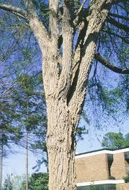 winged elm tree selection landscape plants edward f gilman