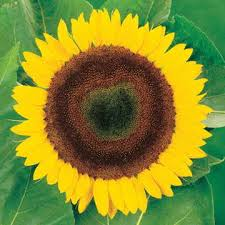 giganteus sunflower seeds from park seed