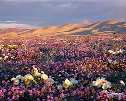mojave desert native plants mojave desert in full bloom bucket list n american travel