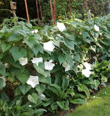 moon flowers magnificent moonflower vines triangle gardener magazine