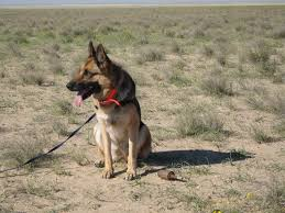 belgian shepherd south africa mine and explosive detection dog facts the development initiative