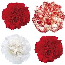 carnation flowers pack carnation flowers