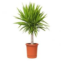 best indoor house plants 18 best large indoor plants tall houseplants for home and offices