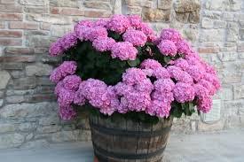 potare le ortensie in vaso l ortensia in vaso e la forzatura i giardini degli orticelli