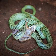what do snakes eat you u0027ll be amazed to know