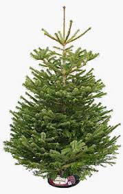 real christmas trees in putney u0026 fulham london order now