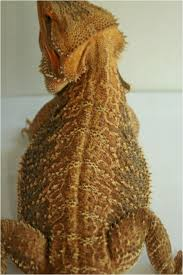 63 bearded dragons images bearded dragon