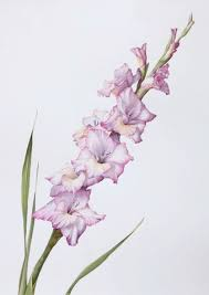 gladiolus flower best 25 gladiolus flower ideas on gladioli gladiolus