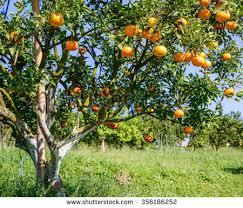 royalty free orange tree 173010806 stock photo avopix