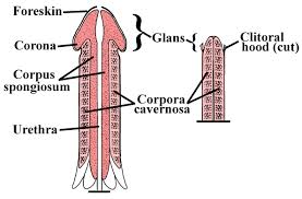 the male reproductive system boundless anatomy and physiology