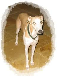 Dog Going Blind What To Do What Can You Do If Your Dog Is Diagnosed As Going Blind Ready