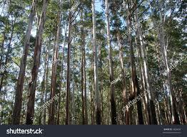 eucalyptus trees nilgiri hills tamil nadu stock photo 3469659