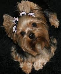 yorkie haircuts pictures only yorkshire terrier yorkie dog and this baby looks just like winnie
