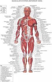 3d Knee Anatomy Muscle Anatomy Diagram Knee Anatomy Red Muscle Bone White Knee