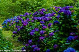 Purple Hydrangea Big Blue Hydrangea Wedding Oregon Coastal Flowers