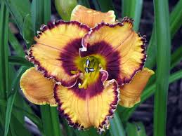 versatile daylilies are focus of plant sale in chesterland
