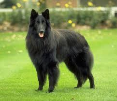 belgian shepherd health problems the breed belgian sheepdog