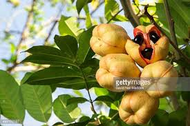 Ackee Fruit Tree - ackee stock photos and pictures getty images