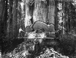 vintage photos of lumberjacks and the giant trees they felled