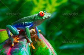 eyed tree frog stock photo by macropixel photodune