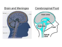 Role Of Brain Stem Nervous System Biology4isc