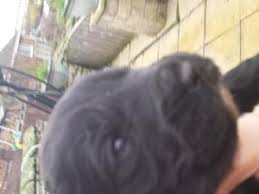 black friday puppy sale puppies u0026 dogs for sale in doncaster friday ad