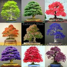 shop 9 colors mixed japanese maple bonsai seeds 50 seeds