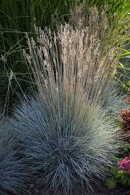 77 best ornamental grasses images on ornamental
