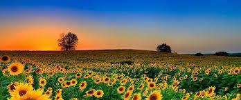 salina ks sunflower field by kansas state university kansas marijuana laws recreational vs medical legalization