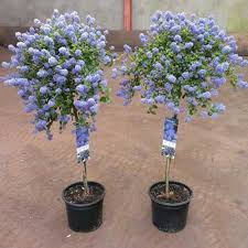 pot grown ornamental trees scotplants direct