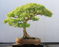 15 most awesome bonsai trees on earth paperblog