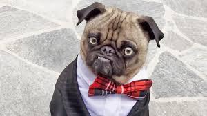 mean mug pug business time youtube