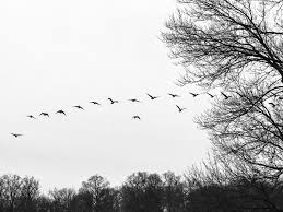 free images tree branch black and white sky flock line
