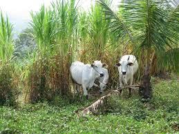 Peluang usaha rumput gajah