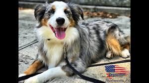 south florida australian shepherd mini aussie to major awesome obedient dog off leash k9 training