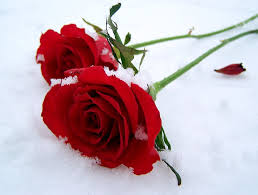wallpaper flower red rose flowers red winter rose flower picture flowers for hd 16 9 high