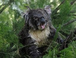 Angry Koala Meme - this is what a wet koala looks like