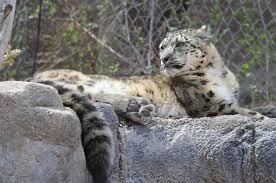 Zoo Lights Utah Hogle Zoo by Hogle Zoo Brings In Female Snow Leopard To Mate With Male