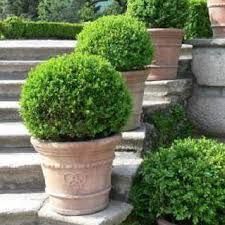 buxus sempervirens in vaso buxus sempervirens vaso 19 vivaio arreda shop