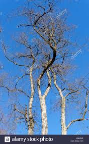 black locust or false acacia tree robinia pseudoacacia