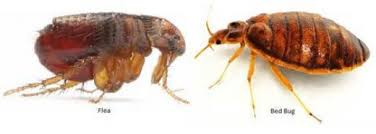 Bed Bugs On Cats How To Tell Between Fleas And Bed Bugs Detection Prevention And